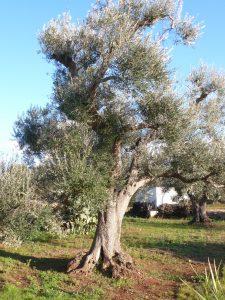 Mon olivier dans la région des Pouilles (sud de L'italie)