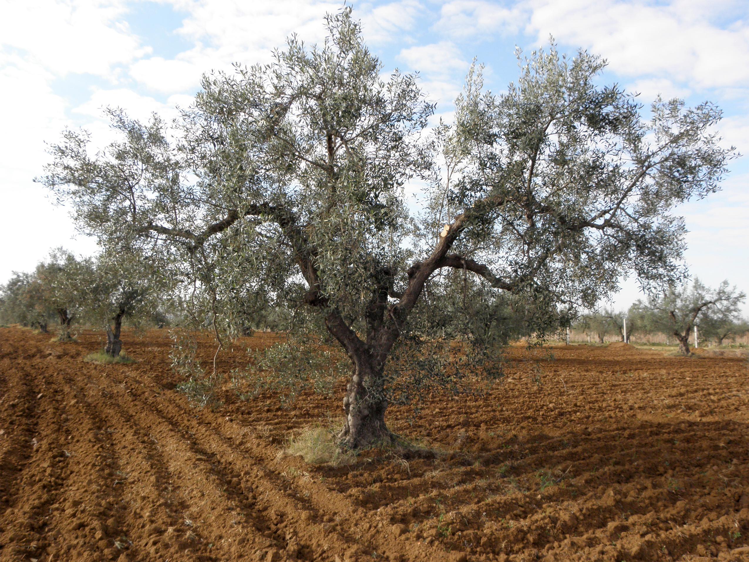 Oliv, mon olivier en Tunisie